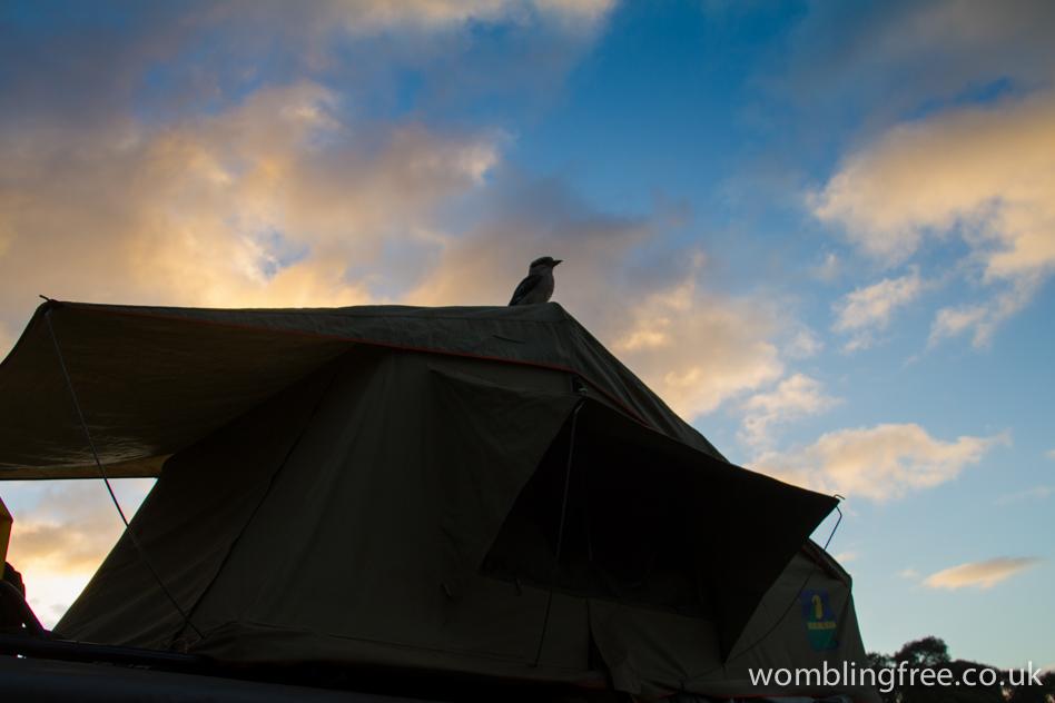Kookaburra drops into camp.